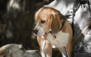 beagle-dog-nanny