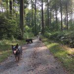 promenade de chiens sur un sentier en forêt